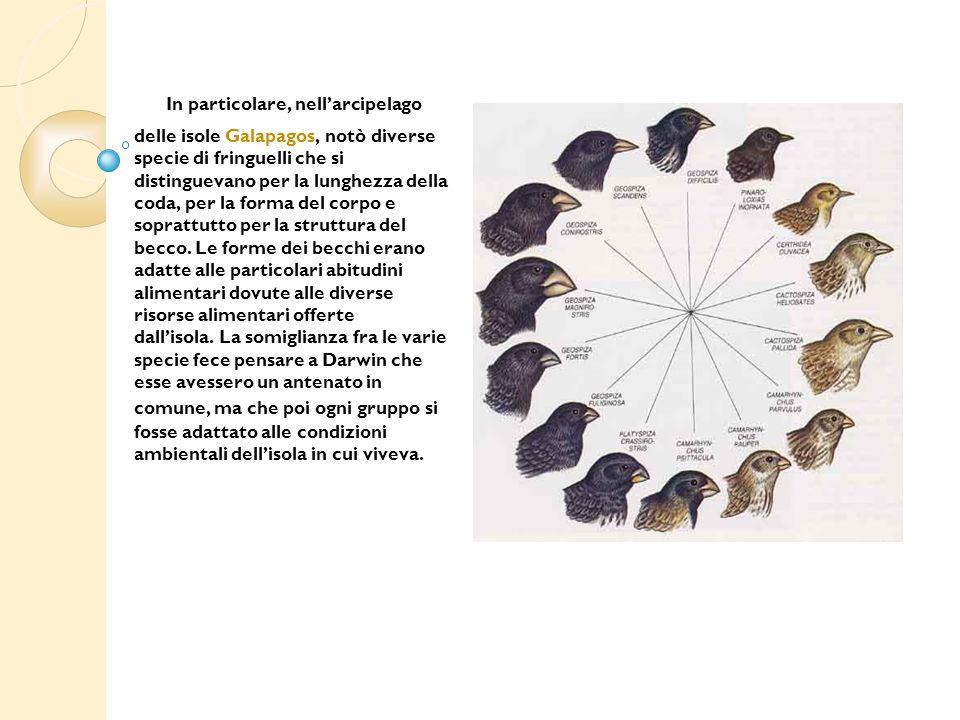 In particolare, nell'arcipelago delle isole Galapagos, notò diverse specie di fringuelli che si distinguevano per la lunghezza della coda, per la form