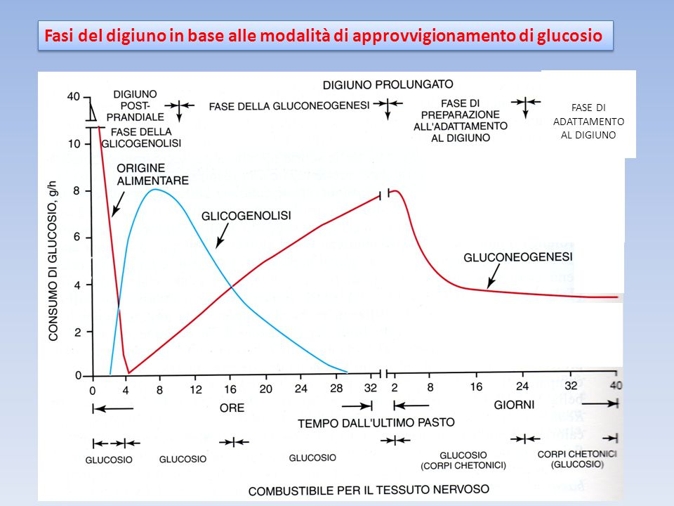 Fasi del digiuno in base alle modalità di approvvigionamento di glucosio FASE DI ADATTAMENTO AL DIGIUNO