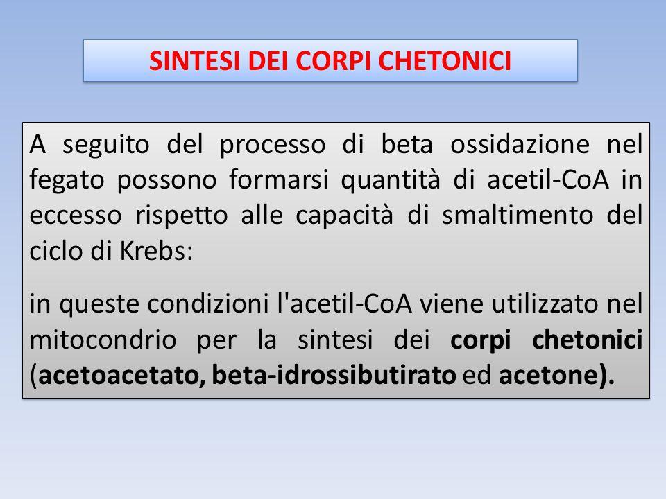 SINTESI DEI CORPI CHETONICI A seguito del processo di beta ossidazione nel fegato possono formarsi quantità di acetil-CoA in eccesso rispetto alle cap