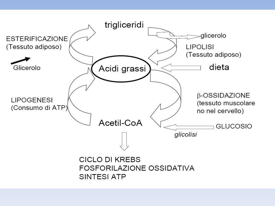 SINTESI DEI CORPI CHETONICI A seguito del processo di beta ossidazione nel fegato possono formarsi quantità di acetil-CoA in eccesso rispetto alle capacità di smaltimento del ciclo di Krebs: in queste condizioni l acetil-CoA viene utilizzato nel mitocondrio per la sintesi dei corpi chetonici (acetoacetato, beta-idrossibutirato ed acetone).