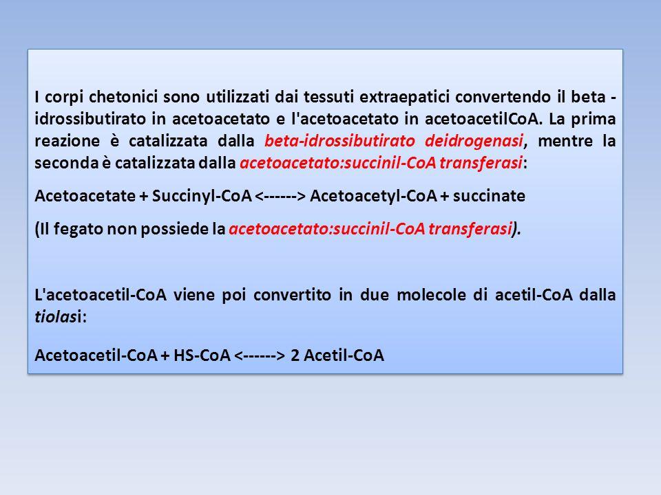 I corpi chetonici sono utilizzati dai tessuti extraepatici convertendo il beta - idrossibutirato in acetoacetato e l acetoacetato in acetoacetilCoA.