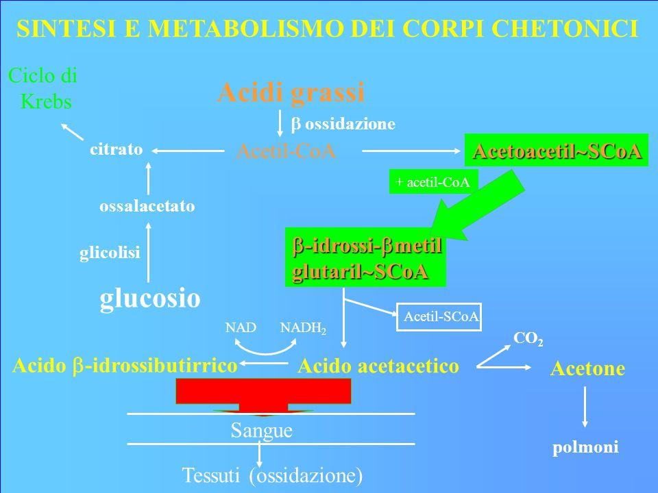 Acidi grassi Acetil-CoA  ossidazione glucosio ossalacetato glicolisi Ciclo di Krebs citrato Acetoacetil  SCoA  -idrossi-  metil glutaril  SCoA + acetil-CoA polmoni SINTESI E METABOLISMO DEI CORPI CHETONICI Acido  -idrossibutirrico Acido acetacetico Acetone Acetil-SCoA NADNADH 2 CO 2 Sangue Tessuti (ossidazione)