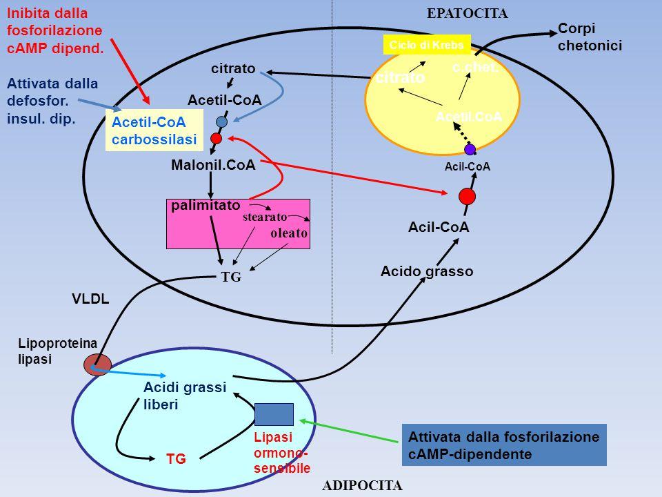 TG Acidi grassi liberi Lipoproteina lipasi Lipasi ormono- sensibile Acido grasso Acil-CoA Acetil.CoA citrato c.chet. citrato Acetil-CoA Malonil.CoA pa