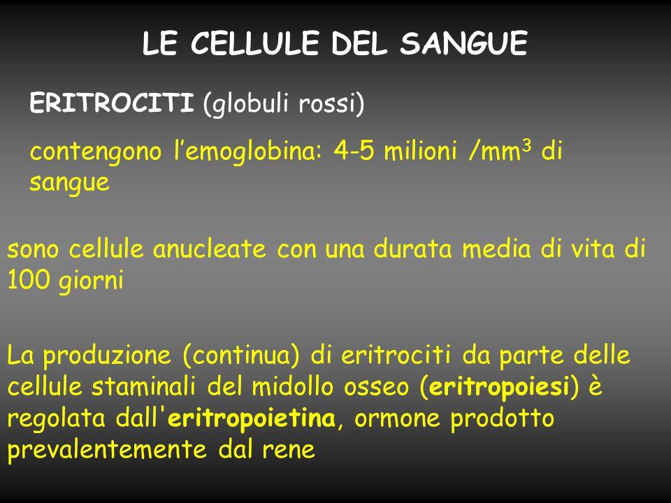 LE CELLULE DEL SANGUE ERITROCITI (globuli rossi) contengono l'emoglobina: 4-5 milioni /mm 3 di sangue sono cellule anucleate con una durata media di v