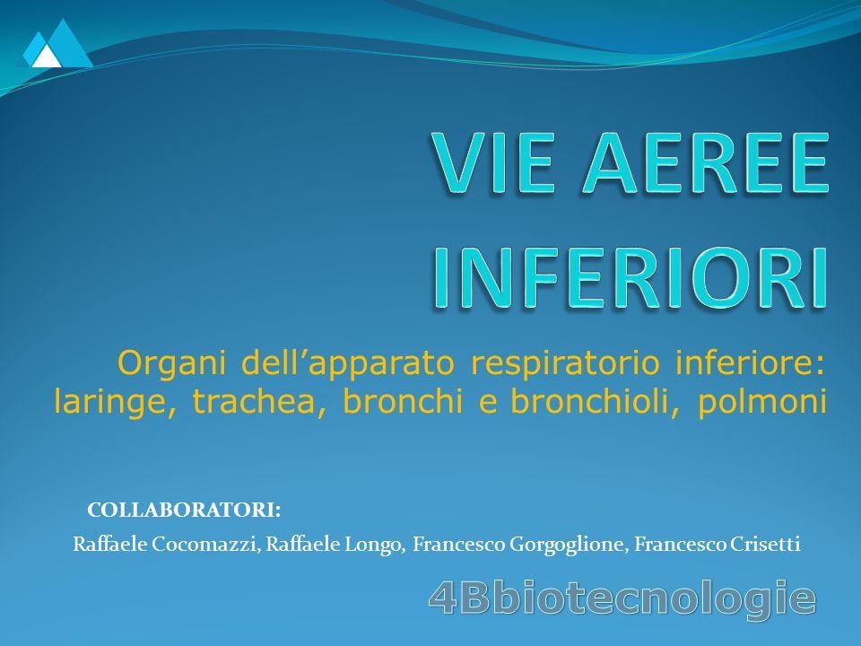 La laringe La laringe è un organo imbutiforme situato nel collo, tra la radice della lingua e la trachea.