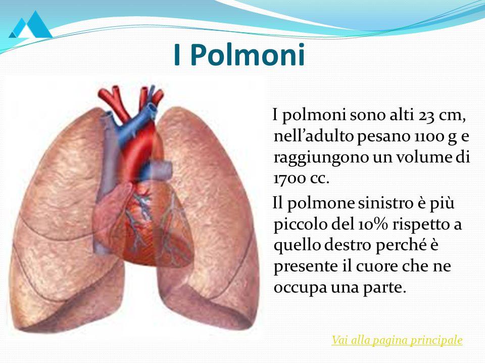 I Polmoni I polmoni sono alti 23 cm, nell'adulto pesano 1100 g e raggiungono un volume di 1700 cc.