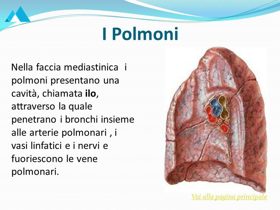 Nella faccia mediastinica i polmoni presentano una cavità, chiamata ilo, attraverso la quale penetrano i bronchi insieme alle arterie polmonari, i vasi linfatici e i nervi e fuoriescono le vene polmonari.