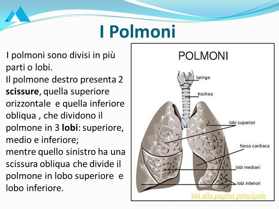 I polmoni sono divisi in più parti o lobi.