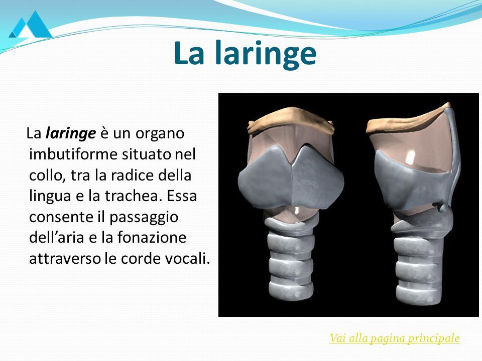 La laringe La laringe è costituita da tessuto cartilagineo.
