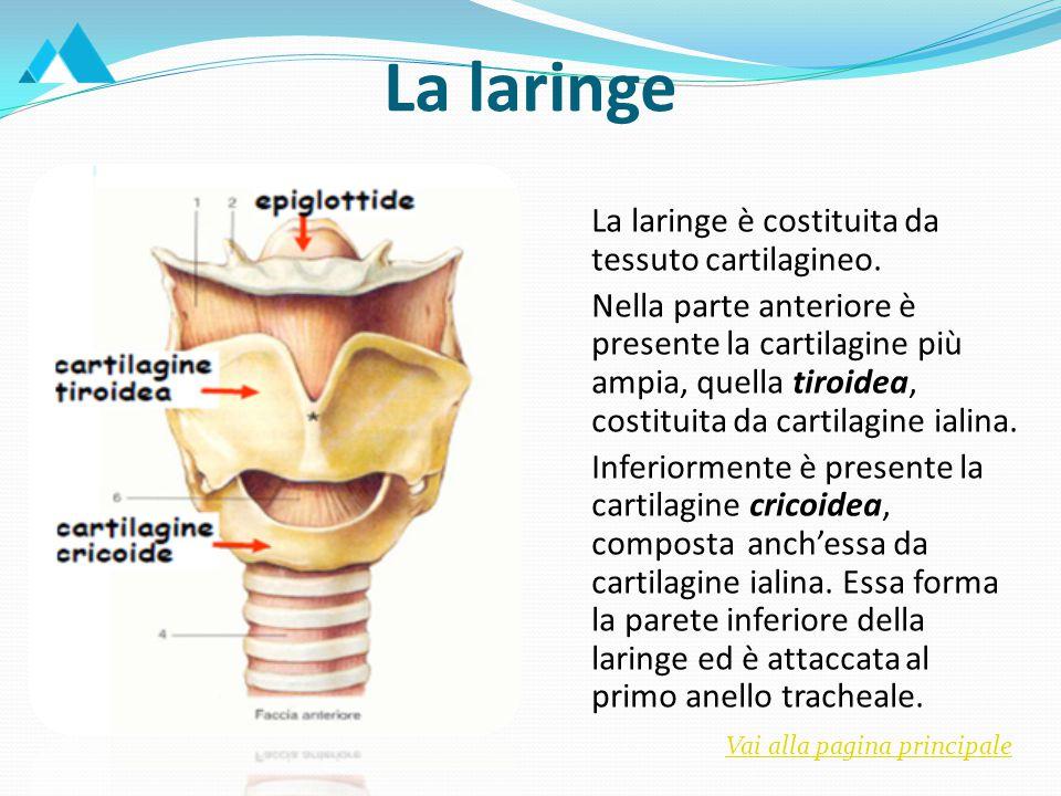 Ogni polmone è rivestito da pleura, formata da due foglietti: uno parietale esterno e uno viscerale interno.