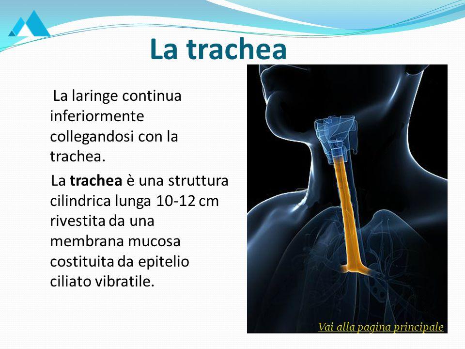 La trachea Essa si estende dalla 6^-7^ vertebra cervicale fino alla 3^-4^ toracica.