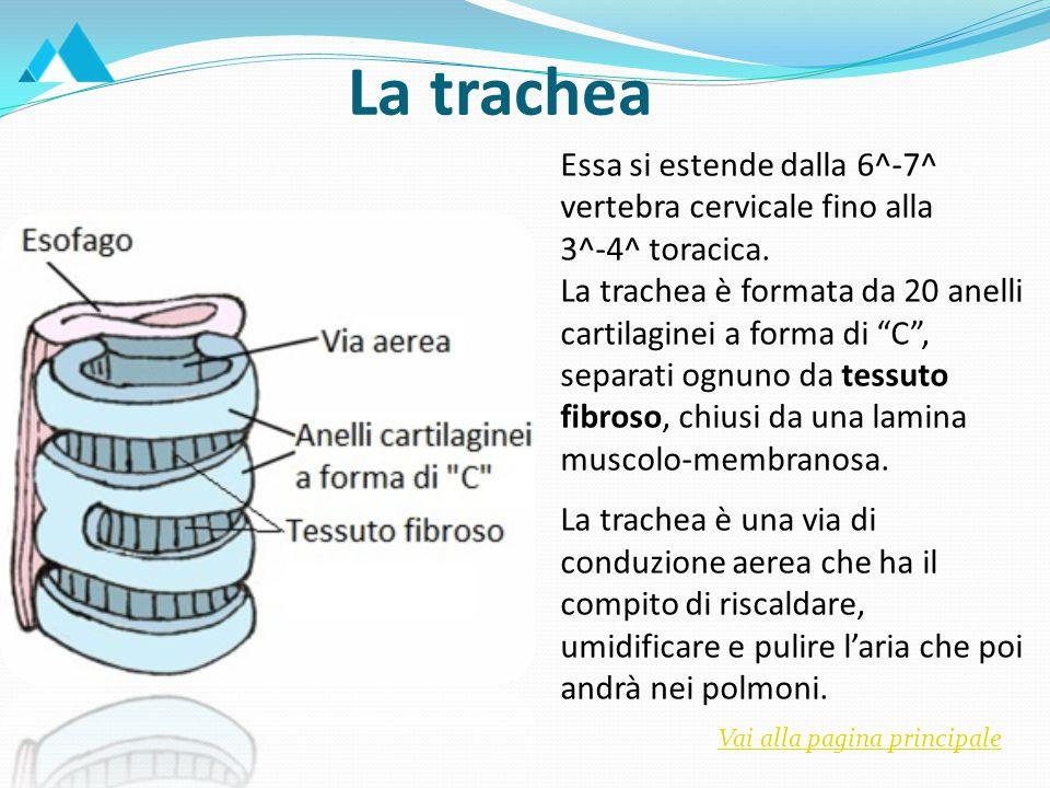 Bronchi e bronchioli Alla 4^ vertebra toracica, la trachea si biforca nel bronco principale destro e nel bronco principale sinistro, che si dirigono verso l'ilo polmonare, e si dividono subito in bronchi con diametro minore.
