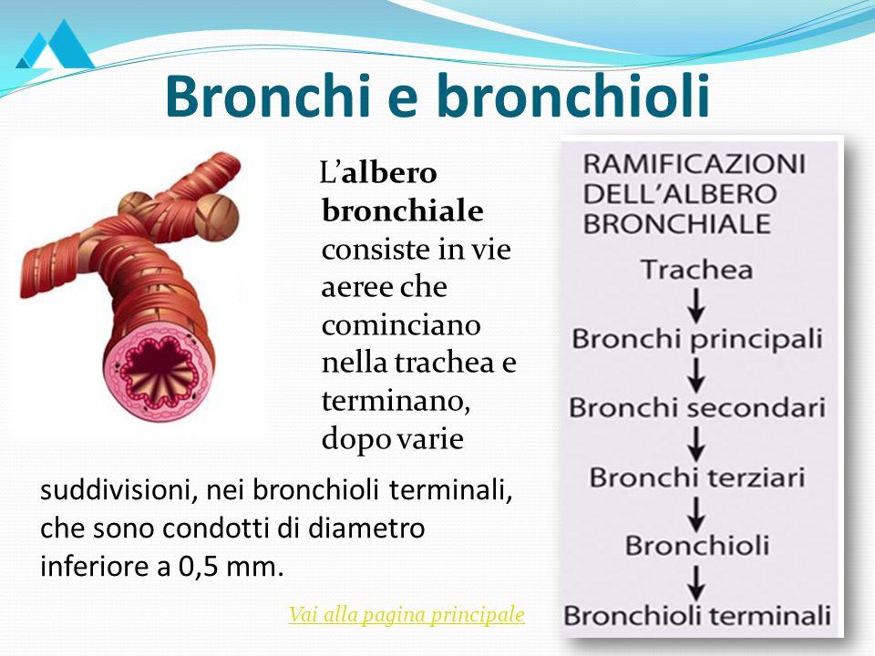 L'albero bronchiale consiste in vie aeree che cominciano nella trachea e terminano, dopo varie Bronchi e bronchioli suddivisioni, nei bronchioli terminali, che sono condotti di diametro inferiore a 0,5 mm.