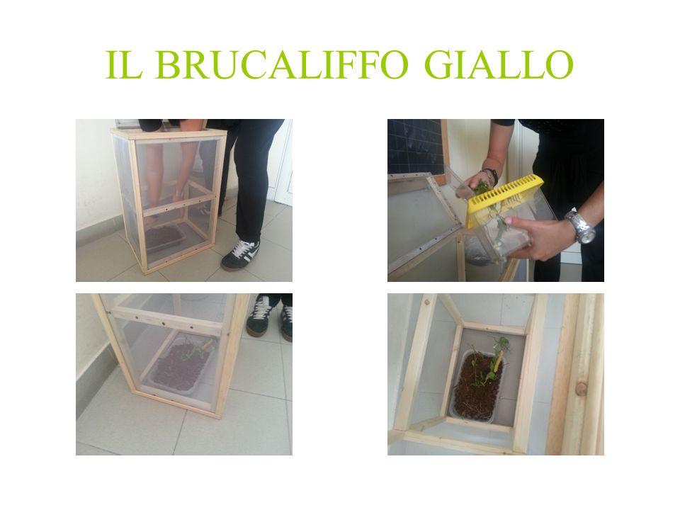 IL BRUCALIFFO GIALLO