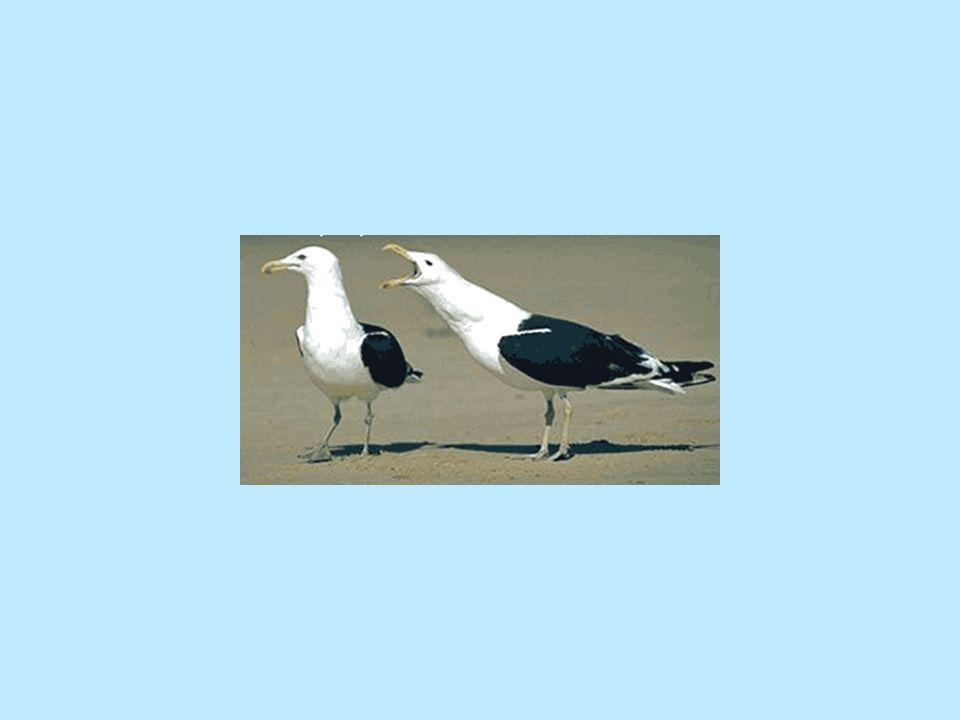 Qual è fra questi la femmina.Guardate bene gli uccelli alla pagina seguente.