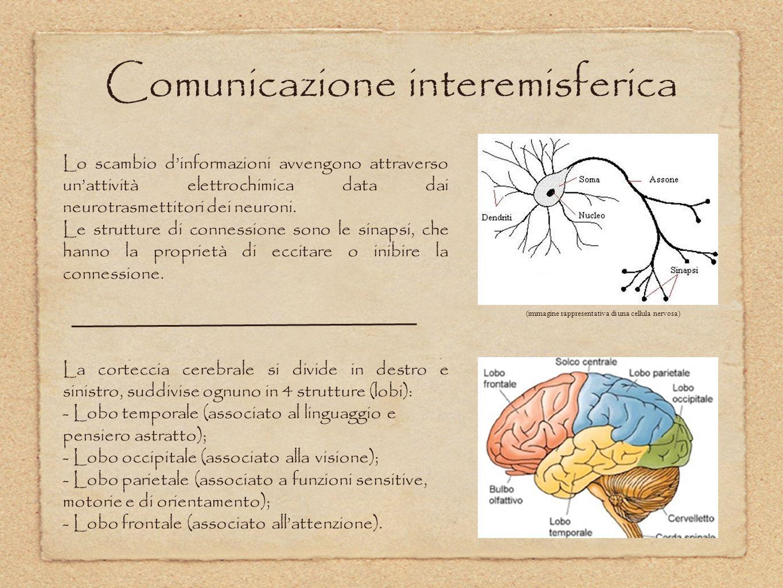 Comunicazione interemisferica Lo scambio d'informazioni avvengono attraverso un'attività elettrochimica data dai neurotrasmettitori dei neuroni. Le st