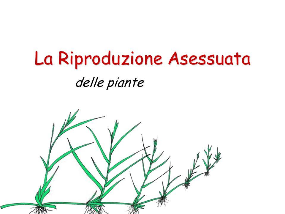 La Riproduzione Asessuata delle piante