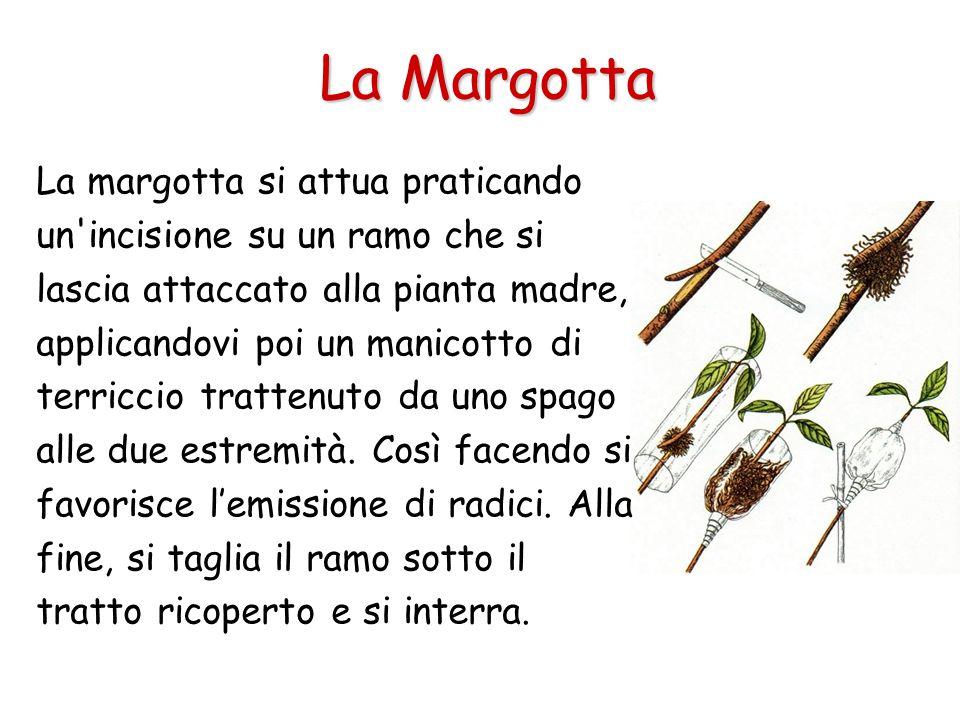 La Margotta La margotta si attua praticando un'incisione su un ramo che si lascia attaccato alla pianta madre, applicandovi poi un manicotto di terric