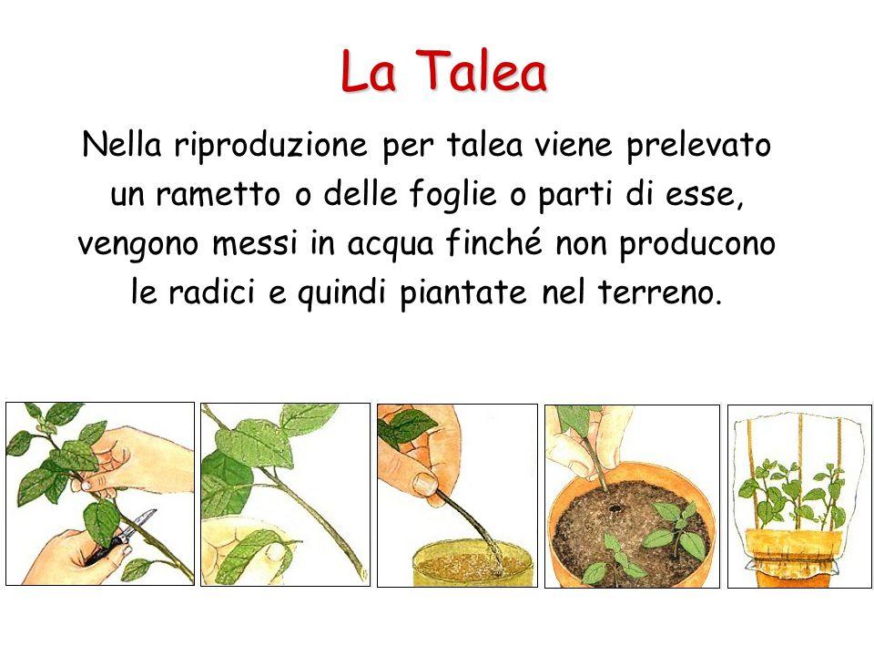 La Talea Nella riproduzione per talea viene prelevato un rametto o delle foglie o parti di esse, vengono messi in acqua finché non producono le radici