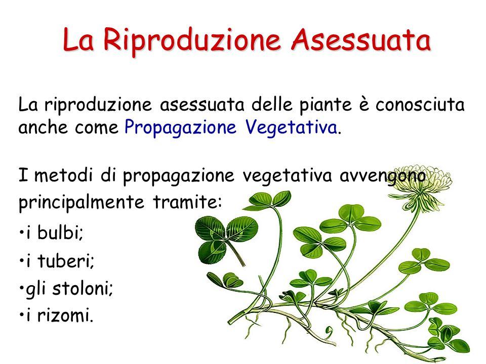 La riproduzione asessuata delle piante è conosciuta anche come Propagazione Vegetativa. I metodi di propagazione vegetativa avvengono principalmente t