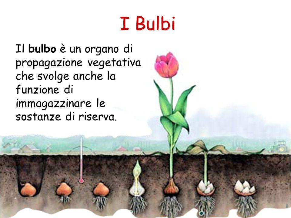 I Bulbi Il bulbo è un organo di propagazione vegetativa che svolge anche la funzione di immagazzinare le sostanze di riserva.