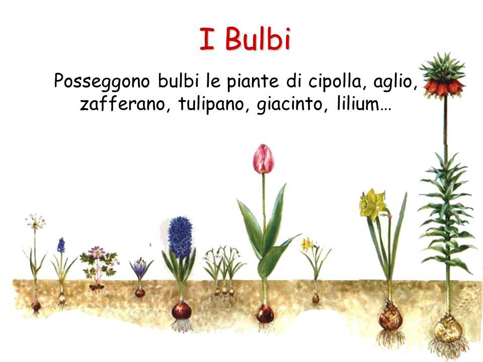 I Bulbi Posseggono bulbi le piante di cipolla, aglio, zafferano, tulipano, giacinto, lilium…