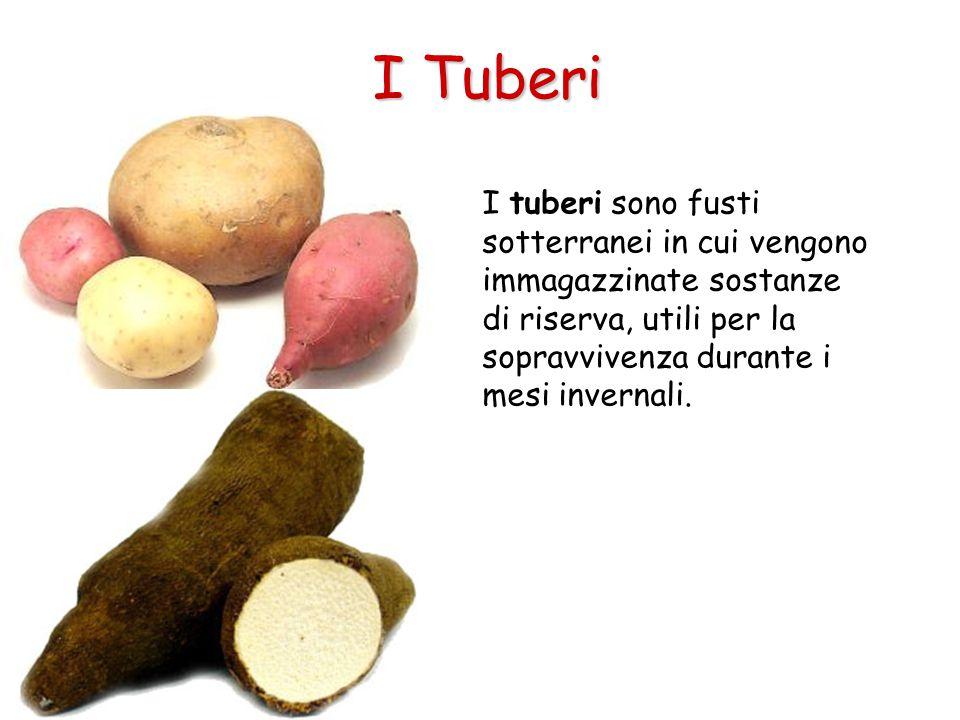 I tuberi sono fusti sotterranei in cui vengono immagazzinate sostanze di riserva, utili per la sopravvivenza durante i mesi invernali. I Tuberi