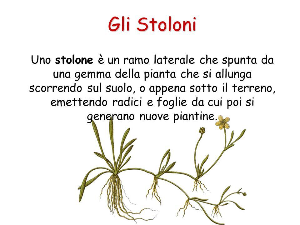Gli Stoloni Uno stolone è un ramo laterale che spunta da una gemma della pianta che si allunga scorrendo sul suolo, o appena sotto il terreno, emetten