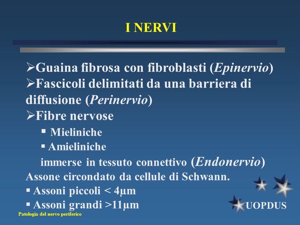 Patologia del nervo periferico UOPDUS I NERVI  Guaina fibrosa con fibroblasti (Epinervio)  Fascicoli delimitati da una barriera di diffusione (Perin