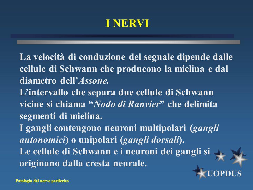 Patologia del nervo periferico UOPDUS I NERVI La velocità di conduzione del segnale dipende dalle cellule di Schwann che producono la mielina e dal di
