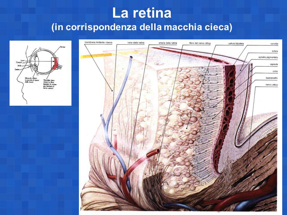 La retina (in corrispondenza della macchia cieca)