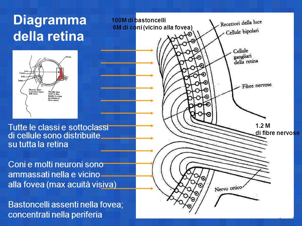 Diagramma della retina 1.2 M di fibre nervose 100M di bastoncelli 6M di coni (vicino alla fovea) Tutte le classi e sottoclassi di cellule sono distrib