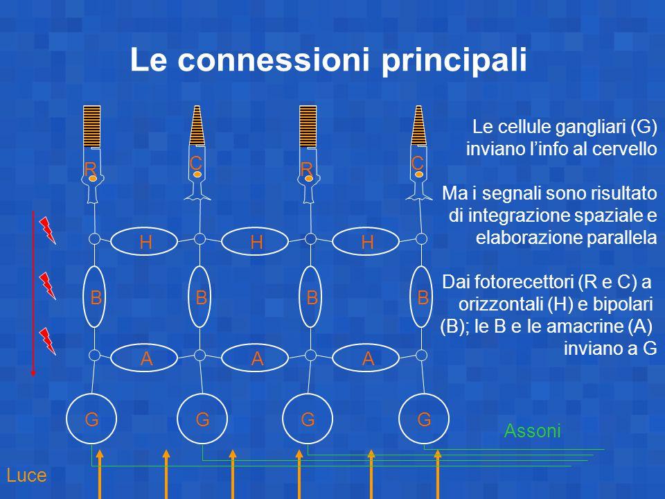Le connessioni principali C R B G A H BBB GGG AA HH C R Luce Assoni Le cellule gangliari (G) inviano l'info al cervello Ma i segnali sono risultato di integrazione spaziale e elaborazione parallela Dai fotorecettori (R e C) a orizzontali (H) e bipolari (B); le B e le amacrine (A) inviano a G