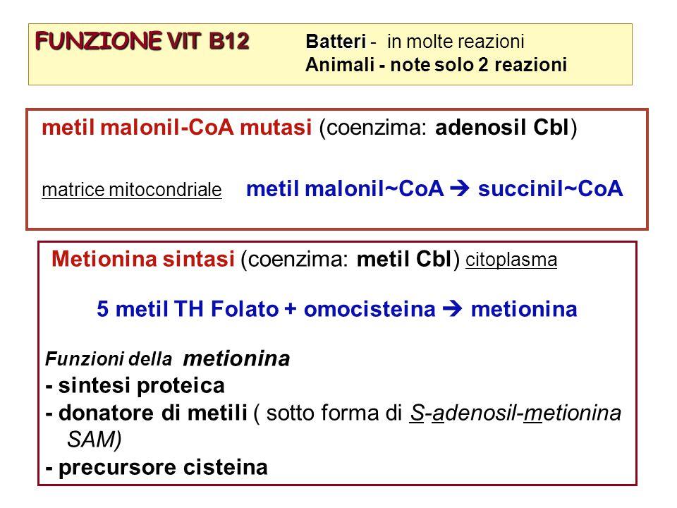 FUNZIONE VIT B12 Batteri FUNZIONE VIT B12 Batteri - in molte reazioni Animali - note solo 2 reazioni metil malonil-CoA mutasi (coenzima: adenosil Cbl) matrice mitocondriale metil malonil~CoA  succinil~CoA Metionina sintasi (coenzima: metil Cbl) citoplasma 5 metil TH Folato + omocisteina  metionina Funzioni della metionina - sintesi proteica - donatore di metili ( sotto forma di S-adenosil-metionina SAM) - precursore cisteina