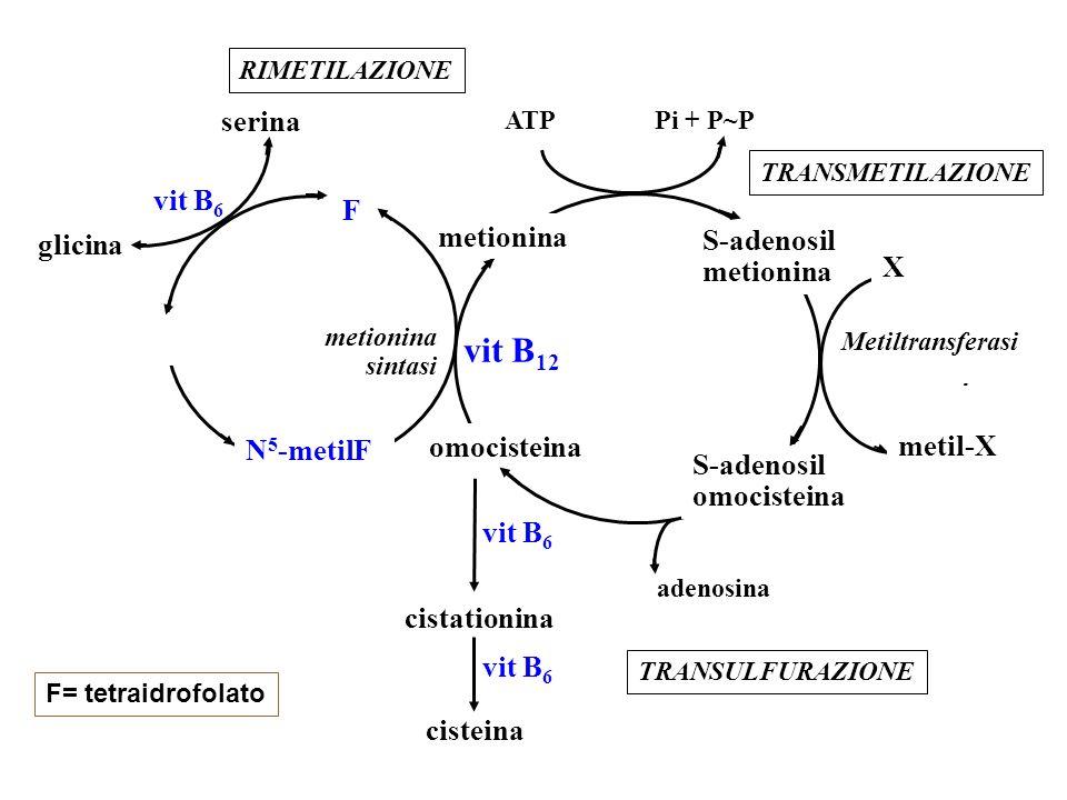 metionina S-adenosil metionina S-adenosil omocisteina ATP Pi + P~P Metiltransferasi X metil-X vit B 12 metionina sintasi N 5 -metilF F cistationina cisteina vit B 6 adenosina serina glicina TRANSULFURAZIONE TRANSMETILAZIONE RIMETILAZIONE vit B 6 F= tetraidrofolato