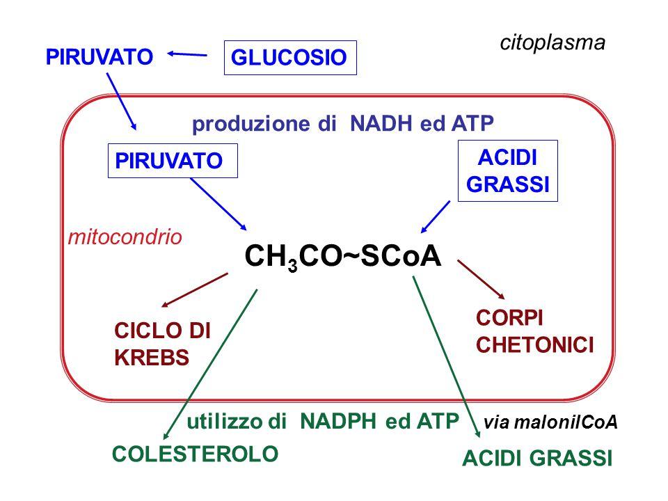 GLUCOSIO citoplasma CH 3 CO~SCoA PIRUVATO ACIDI GRASSI CORPI CHETONICI CICLO DI KREBS COLESTEROLO via malonilCoA ACIDI GRASSI mitocondrio produzione d