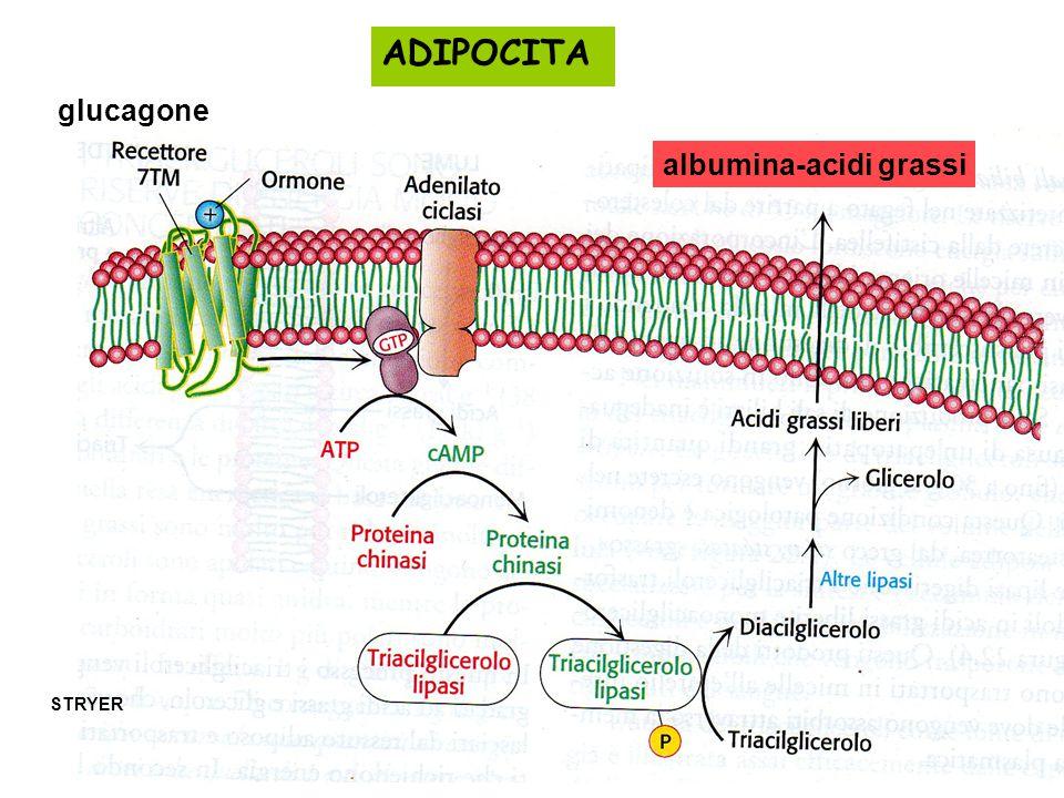 STRYER glucagone ADIPOCITA albumina-acidi grassi