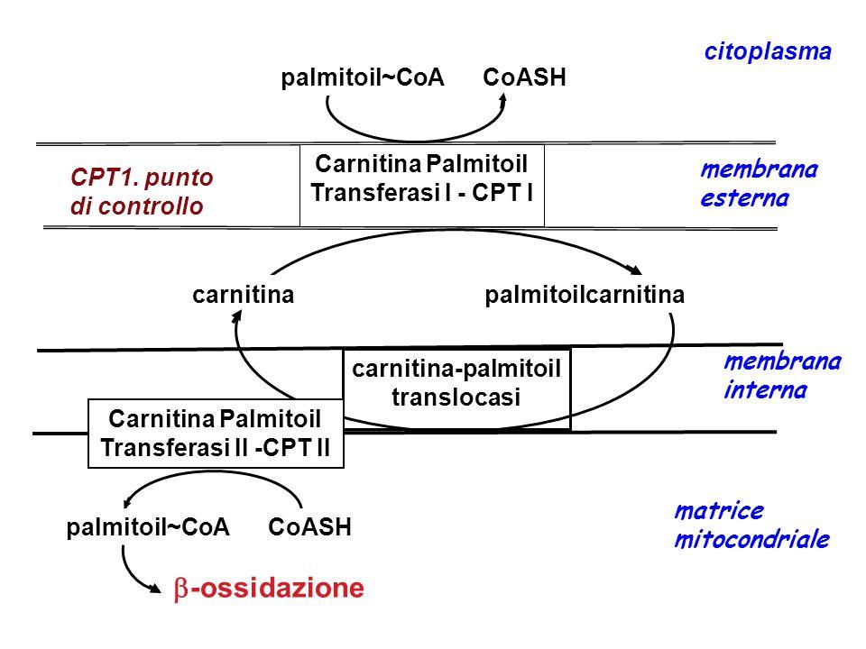 Carnitina Palmitoil Transferasi I - CPT I membrana esterna carnitina-palmitoil translocasi membrana interna Carnitina Palmitoil Transferasi II -CPT II palmitoil~CoA CoASH  -ossidazione matrice mitocondriale citoplasma palmitoil~CoA CoASH carnitina palmitoilcarnitina CPT1.