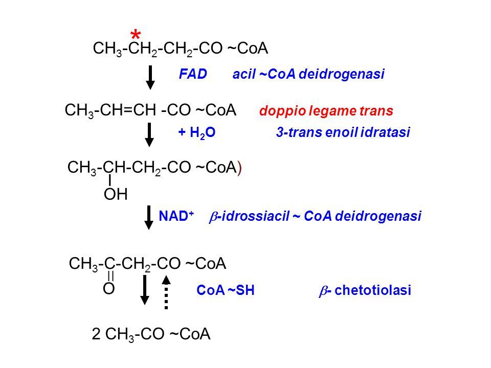 CH 3 -CH 2 -CH 2 -CO ~CoA CH 3 -CH=CH -CO ~CoA doppio legame trans CH 3 -CH-CH 2 -CO ~CoA) I OH CH 3 -C-CH 2 -CO ~CoA 2 CH 3 -CO ~CoA FAD acil ~CoA deidrogenasi + H 2 O 3-trans enoil idratasi NAD +  -idrossiacil ~ CoA deidrogenasi CoA ~SH  - chetotiolasi II O *