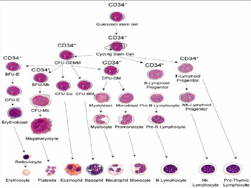 SINDROMI LINFOPROLIFERATIVE CRONICHE Le sindromi linfoproliferative croniche sono malattie neoplastiche prevalenti nell'adulto anziano caratterizzate dalla proliferazione e accumulo nel midollo osseo, negli organi linfoidi e nel sangue periferico di linfociti monoclonali Sono più frequentemente a fenotipo B che T