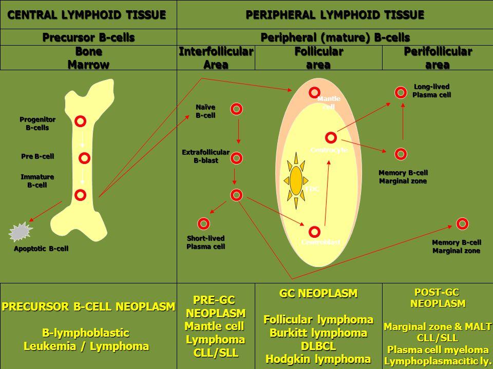 CENTRAL LYMPHOID TISSUE PERIPHERAL LYMPHOID TISSUE Precursor B-cells Peripheral (mature) B-cells BoneMarrowInterfollicularAreaFollicularareaPerifollic