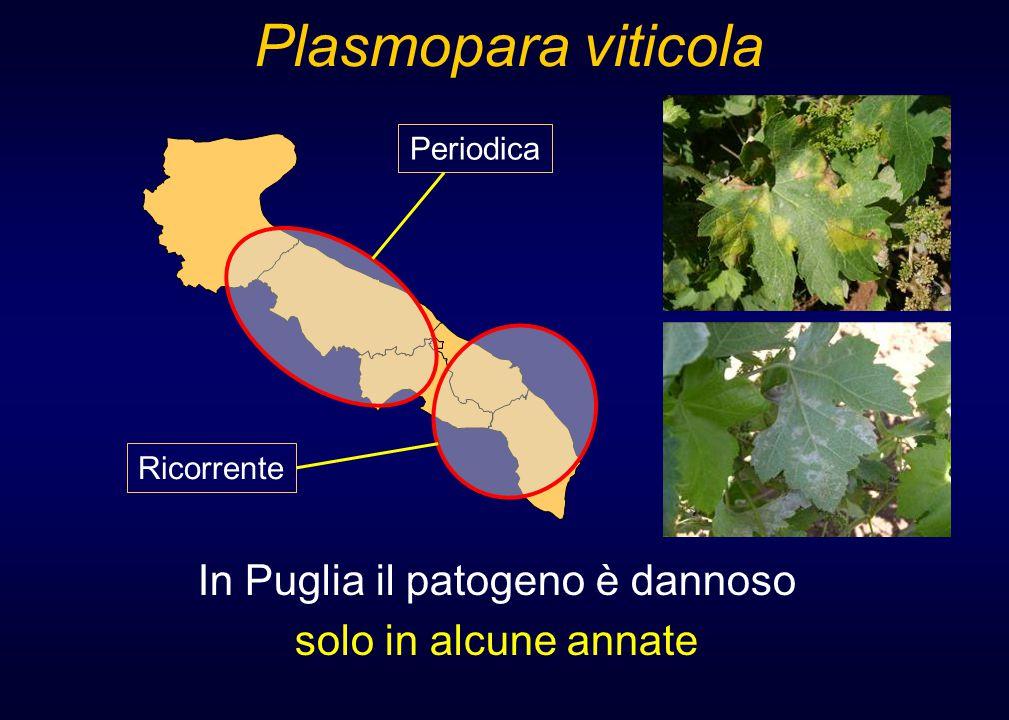 Plasmopara viticola In Puglia il patogeno è dannoso solo in alcune annate Periodica Ricorrente