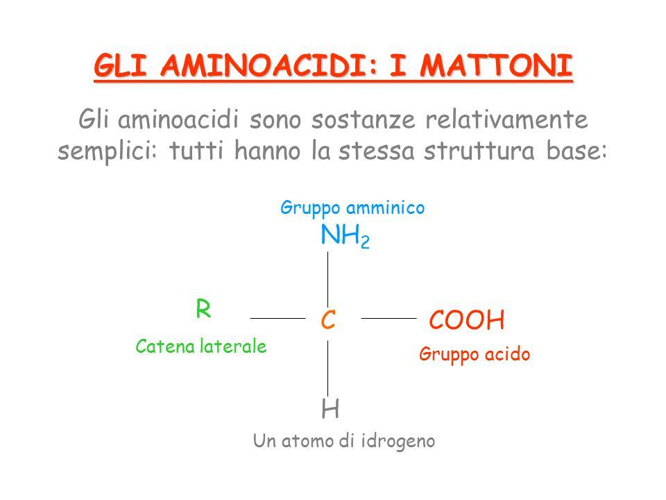 GLI AMINOACIDI: I MATTONI Gli aminoacidi sono sostanze relativamente semplici: tutti hanno la stessa struttura base: C NH 2 H COOH R Gruppo amminico Gruppo acido Un atomo di idrogeno Catena laterale