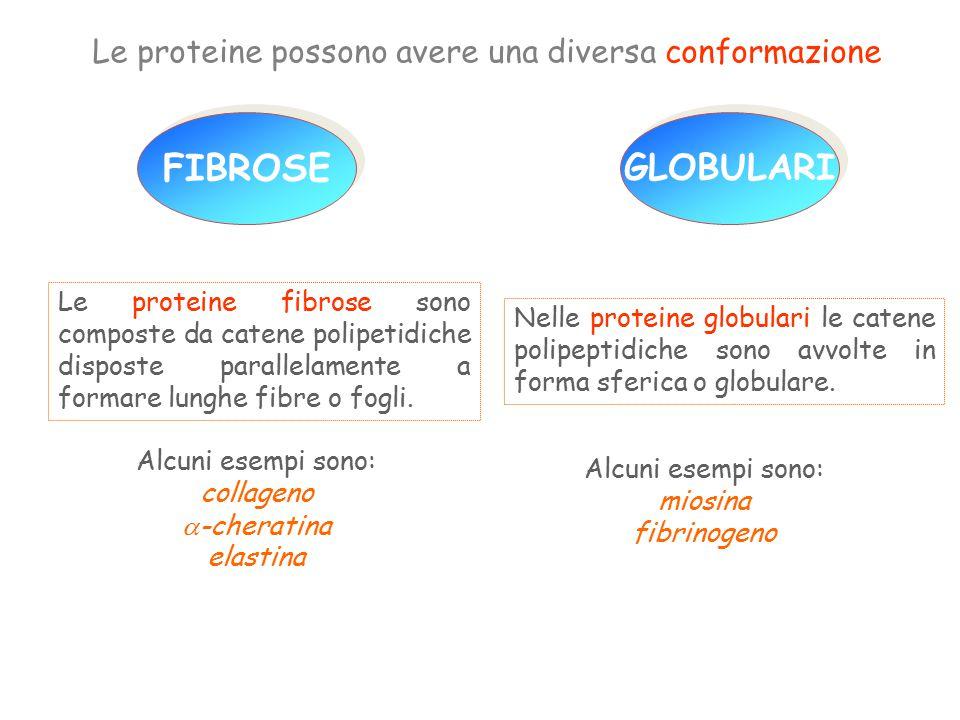 FIBROSE GLOBULARI Le proteine possono avere una diversa conformazione Alcuni esempi sono: collageno  -cheratina elastina Nelle proteine globulari le catene polipeptidiche sono avvolte in forma sferica o globulare.
