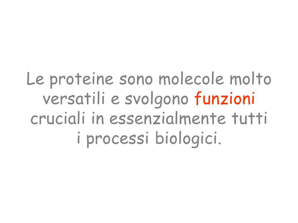 Le proteine sono molecole molto versatili e svolgono funzioni cruciali in essenzialmente tutti i processi biologici.
