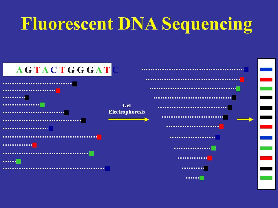 Detection of Fluorescently Tagged DNA DNA Fragments Separated by Electrophoresis Output to Computer Scanning Laser Excites Fluorescent Dyes Optical Detection System