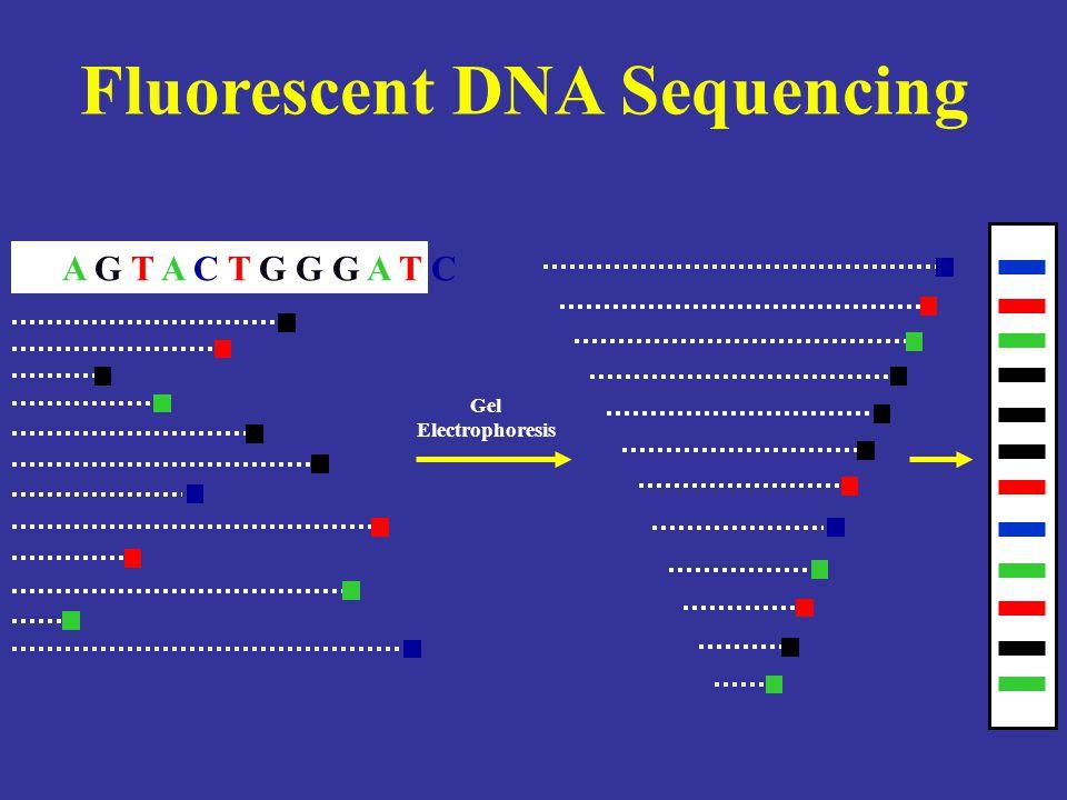 Fluorescent DNA Sequencing A G T A C T G G G A T C Gel Electrophoresis