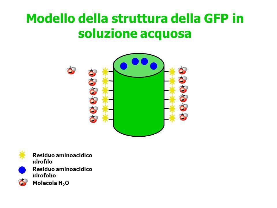 Modello della struttura della GFP in soluzione acquosa Residuo aminoacidico idrofilo Residuo aminoacidico idrofobo Molecola H 2 O ++++++++++++++