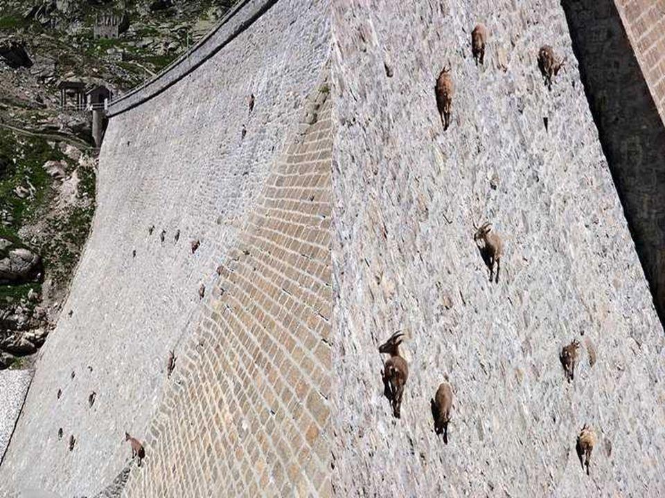 Sono stambecchi!!!! Sono degli acrobati, amano il muschio e l'erba e leccano il sale dal muro della diga.
