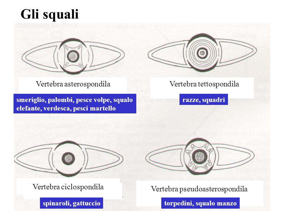 Vertebra ciclospondila spinaroli, gattuccio Vertebra pseudoasterospondila torpedini, squalo manzo Vertebra asterospondila smeriglio, palombi, pesce vo